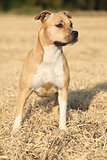 Beautiful American Staffordshire Terrier