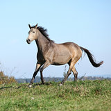 Nice Kinsky horse running in autumn