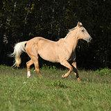 Nice Kinsky horse running in autumn