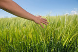 Womans hand touching wheat in field