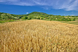 Agricultural landscape wheat field on green hill