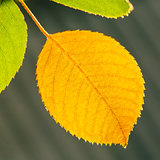 Autumn Yellow Leaf Among Green Foliage