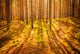 Dawn in old autumn forest
