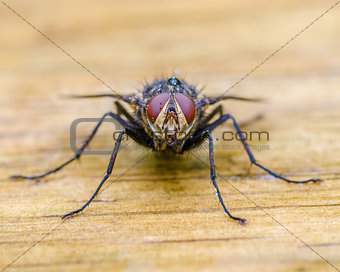 A Fly Closeup