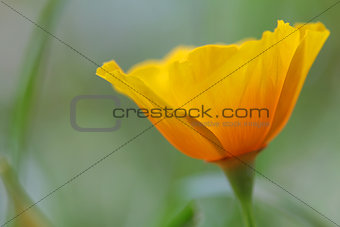 close up of california poppy flower