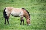 Przewaski horse equus ferus przwealski in captivity