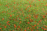 Red flower on grass