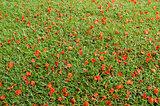 Red flower on grass