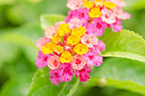 Lantana, Wild sage, Cloth of gold