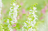 Antirrhinum majus or Snapdragons or Dragon flowers