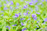 violets flowers field