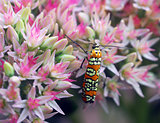 orange beetle insect on pink white flower
