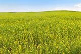 flowering rapeseed field, minimalist style