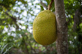 Jack-fruit in Viet nam
