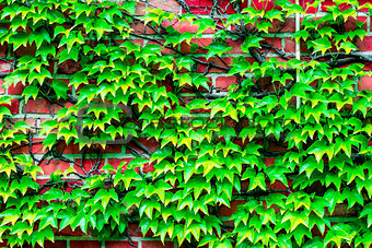 brick wall overgrown with vines to use as background