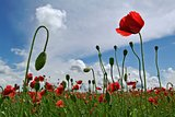 Field of red corn poppy flowers in summer