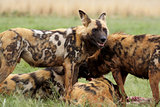 Wild Dogs Feeding, I'll stand guard