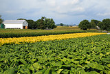 Pennsylvania Tobacco Field