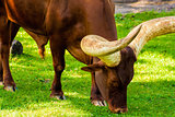 Close-Up Grazing Ankole Cattle