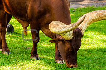 Close-Up Grazing Ankole Cattle