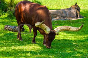 Grazing Ankole Cattle