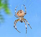 SpiderAraneus diadematus