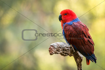 Beautiful red female Eclectus parrot