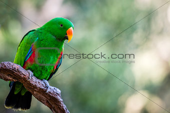 Beautiful green male Eclectus parrot