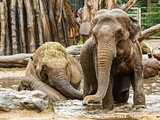 Three elephants playing in water