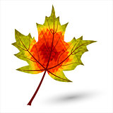 triangular maple leaf