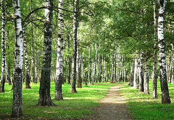 First days of autumn in the morning sunny birch forest