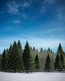 Fir tree forest in snowy landscape