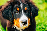 Bernese Mountain Dog (Berner Sennenhund) Puppy