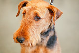 Brown Airedale Terrier Dog
