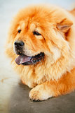 Brown Chines Chow Chow Dog