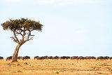 Masai Mara Wildebeest
