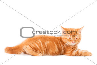 little Ginger british shorthair cats asleep