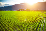 green rice field with cloud and mountain background