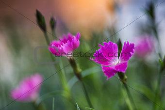 Close up of vibrant pink kaori border plant