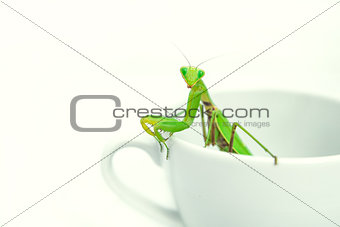 Green Mantis is posing on a white porcelain cup, close up, selec