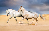 Akhal-teke horses in the desert sunset