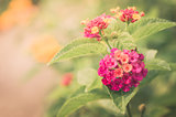 Lantana, Wild sage, Cloth of gold vintage