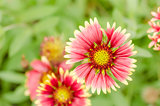 gaillardia aristata red yellow flower in garden