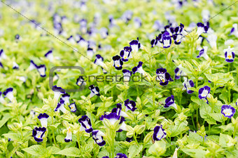 Torenia or Wishbone flowers