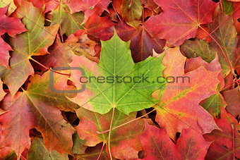 Background of fall maple leaves