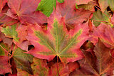 Red and green maple leaf on a background of fall foliage