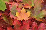 Yellow maple leaf on a heap of leaves