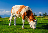 Cow grazing on meadow. Photo taken in Graz, Austria