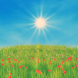Corn poppy flowers against blue sky
