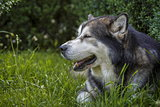 Alaskan Malamute male dog portrait